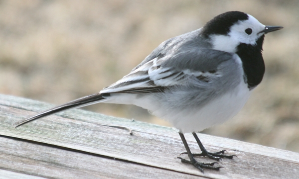 white wagtail (linerle)